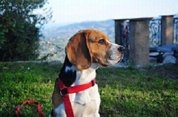Beagle at pet friendly hotel Bois d'Amont in the south of france